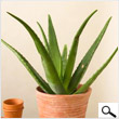 Baby Aloe Vera Tree (24 inches)