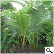 Babycoconut tree (72 inches)